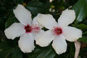 "(5) Stems White Hibiscus Branches/Cuttings, Bush/Shrub/Tree 8"" Long"