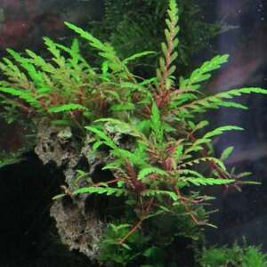 Hygrophila pinnatifida with roots submersed grow live aquarium plant