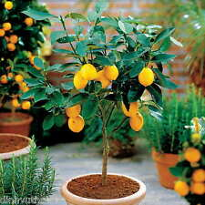 50 Seeds Dwarf Meyer Lemon Tree Indoor/Outdoor