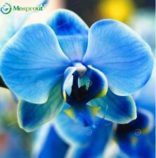 Rare Blue Birds Phalaenopsis Orchid Seeds Flower- 100 PCS