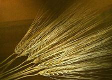 15 spighe di grano vere lunghezza variabile