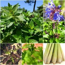 Ocimum basilicum 40 Samen MENGENRABATT !!! Thai-Basilikum /'Thai Magic/' Horapha