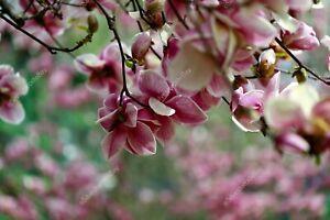 Under magnolia flowers spring DIGITAL ART PHOTO PICTURE JPEG BACKGROUND