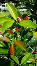 "Grumichama Eugenia Brasilie Brazilian Cherry Plant Tree Seedling HAWAII 6-10"""