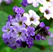 CHERRY PIE Heliotropium arborescens mauve purple flowers plant in 100mm pot