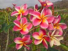"Rare Plumeria Starter Seedling Plants, Hawaiian Fragrant Pink Flowers ""DIANA"""