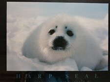 Picture in Glass Frame, Baby Harp Seal Photo by Bob Talbot.