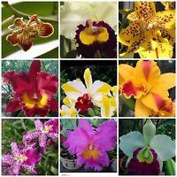 4 Live Orchid Plants to choose (Cattleya, Oncidium, Vanda, Dendrobium, Phalaenop