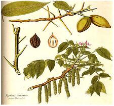 (5) Butternut AKA White Walnut, Juglans cinerea TREE SEEDS -  Comb. S&H