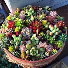 Living Stone Mix Lithops Seeds Succulent Flower Pseudotruncatella Bonsai Garden