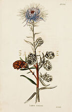"Loddiges Flower Print - ""LIATRIS SCARIOSA"" - Hand Colored Engraving - 1818"