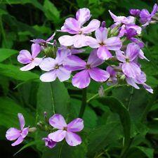 Flower - Sweet Rocket - Hesperis Matronalis - 100 Seeds