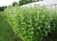 MARSHMALLOW Althaea officinalis 50 seeds OLD TRADININAL MEDICINAL herb
