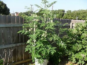 Moringa Oleifera, Hybrid PKM1 (Drumstick tree) 5 Seeds,Rare!