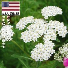 WHITE YARROW 1,000 Seeds HERB MEDICINAL HEIRLOOM PERENNIAL  USA_SAME_DAY_SHIP!