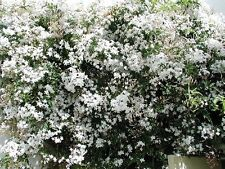 9ft-10ft Jasmine officianale - white, fragrant,hardy SHIPPED AT 9ft-10ft!