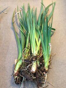 12 x yellow Flag Iris, bull rush  Plants 5-7 inches long, pond reed , pond plant