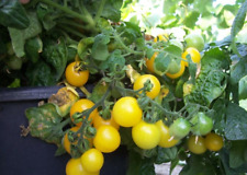 Tomato Seeds Chinese Room yellow small tomatoes organic Ukraine 20 seeds D