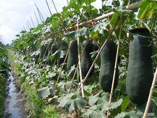 Vegetable seed - Black wax gourd Winter Melon Seeds organic heirloom home garden