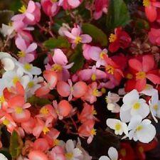 "Begonia Seeds Babywing Mix 15 Pelleted Seeds Begonia X hybrida"" New Variety"""