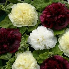 30+  ALCEA BERRY CHEESECAKE DOUBLE HOLLYHOCK FLOWER SEEDS MIX / PERENNIAL