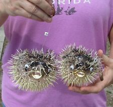 2 piece lot of 6 inch Porcupine Blowfish Puffer fish w/hanger taxidermy (S)