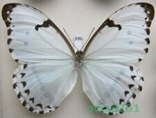 Morpho catenarius Perry, 1811 Brazil 116mm39b