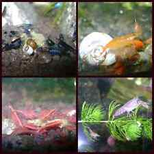 6 RED CHERRY, 6 BLUE DREAM RILI, 6 ORANGE SAKURA SHRIMPS 3 DWARF CRAYS 9 SNAILS