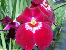 Nicely started Miltoniopsis Bert Field red pansy orchid seedling