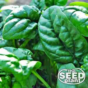 Early No. 7 Spinach Seeds - 50 SEEDS NON-GMO