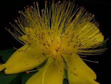 Millepertuis - jeune plante - vivace - replanté en automne, c'est préférable ...