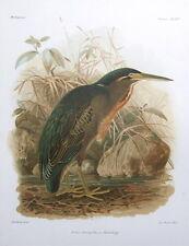 STRIATED HERON  KEULEMANS original antique bird print c1875