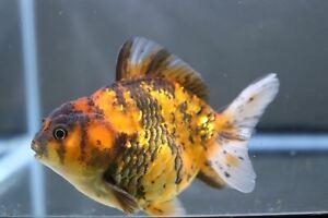 Tiger Yuanbao Oranda Male Fancy Goldfish