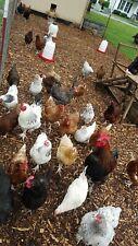 12 mix hatching eggs NPIP CERTIFIED