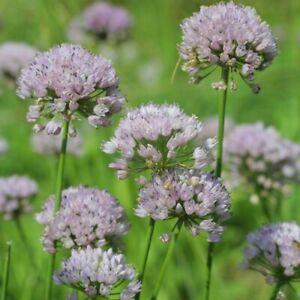 Kantenlauch, wie Schnittlauch - aber besser, geschützt, Delikatesse, Pflanze