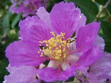 Lagerstroemia flos-reginae, speciosa, pride of India, 30 seeds