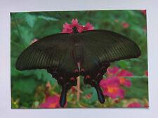 Buckfast Butterfly Farm Postcard - Chinese Peacock Papilo Bianor c1980s