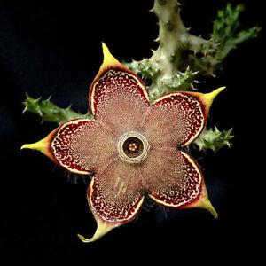 Edithcolea grandis Succulent potted plants Home decorating live plants high5-7cm