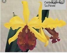 New listing cattleya dowiana aurea la picosa orchid