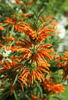 Exot Pflanzen Samen exotische Saatgut Zimmerpflanze Blume LÖWENOHR
