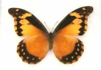 Morpho rhetenor cacica female ONE REAL BUTTERFLY RARE UNMOUNTED WINGS CLOSED
