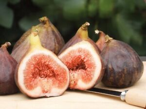 KING FIGS SWEET FRESH VIABLE 50 SEEDS COLD TOLERANT & DECADENT FRUITS+FREE GIFT!