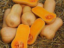 25 WALTHAM BUTTERNUT SQUASH 2018 (all non-gmo heirloom vegetable seeds!)