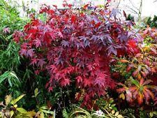 101 Graines Erable pourpre du Japon, Acer palmatum 'Atropurpureum' Seeds
