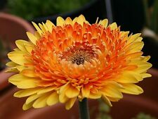 Gerbera Daisy Seeds - CREAMSICLE - Excellent for Arrangements -50 Seeds