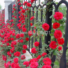 100 Pcs Seeds Red Climbing Plants Polyantha Rose Garden Flowers Free Shipping N