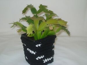 Christmas Cactus Plant rooted Schlumbergera in crochet pot