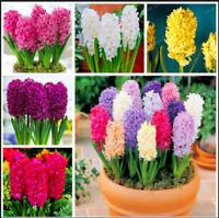 Hyacinth 50 Pcs Seeds Bonsai Plants Not Bulbs Balcony Flowers Home Garden NEW F
