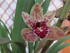 Cymbidium Orchid Spark Sprite 'Sparky' 4n compot 3 mericlones