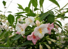 "Pearl Sonic Bloomâ""¢ Weigela - Everblooming - Proven Winners - 4"" Pot"